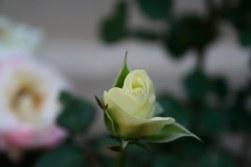 mawar0005.jpg
